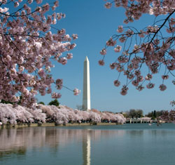 Cherry Blossoms surrounding Washington Monument